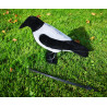 Hooded crow Flocked